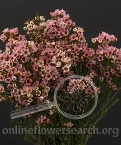 Waxflower Sarah's Delight