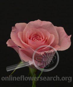 Rose Bridal Pink