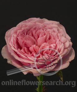 Rose Bella Canzone (aka Bel Canto)