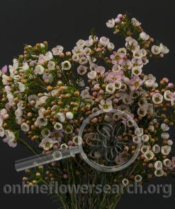 Waxflower Angellena