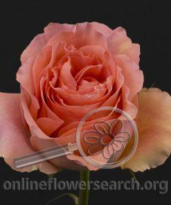 Rose Pink Spirit