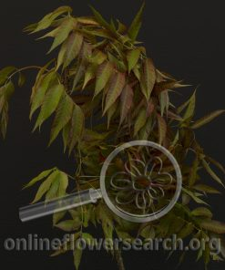 Chinese Pistache Foliage Red