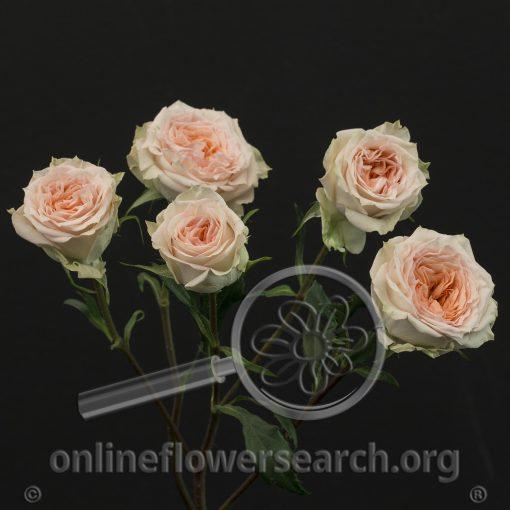 Spray Rose Rosanella