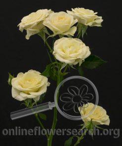 Spray Rose Averie