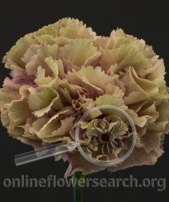 Carnation Homer