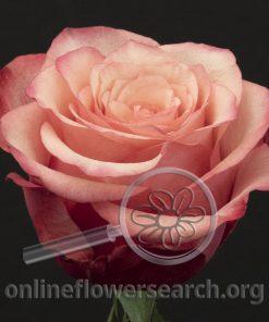 Rose Bogart-BB