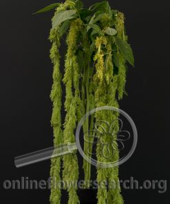 Amaranthus Caudatus Green Spider