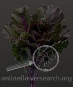 Kale/Cabbage Ornamental Black