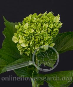 Hydrangea Mini Dark Green