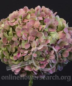 Hydrangea Antique Red