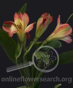 Alstroemeria Climax