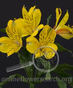 Alstroemeria Dimension