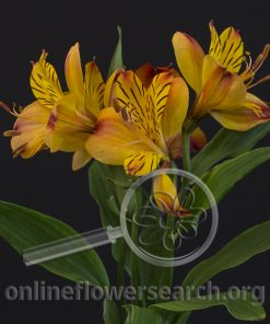 Alstroemeria Flamingo Star
