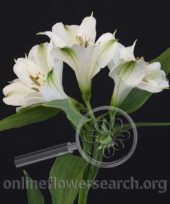 Alstroemeria Imagine