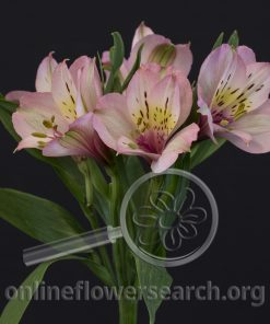Alstroemeria Pink Rosita