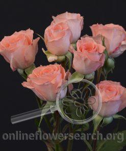 Spray Rose Elegant Rosever