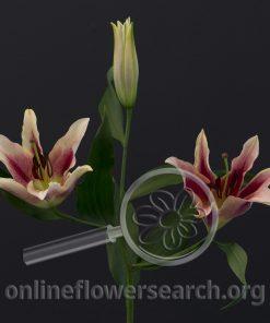 Lily Oriental Amarossi