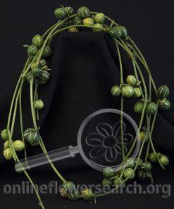 Marble Vine (Diplocyclos palmatus)