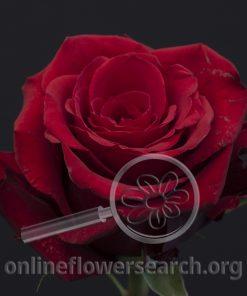 Rose Cupido