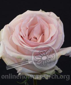 Rose Lorraine