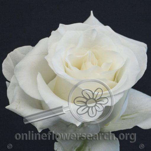 Rose Snow Bliss
