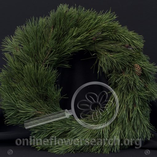 Shore Pine Wreath