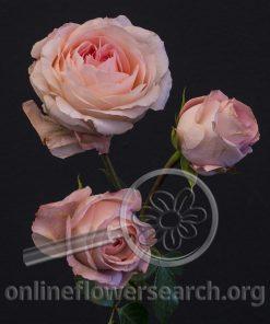 Spray Rose Bella Linda Kiss