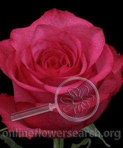 Rose Lola
