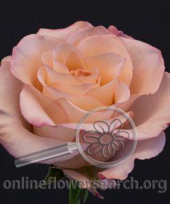 Rose Rhoslyn (aka La Vie En Rose)