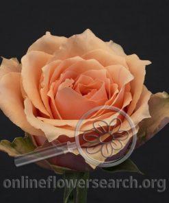 Rose Lolita+