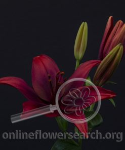 Lily Asiatic Foreigner