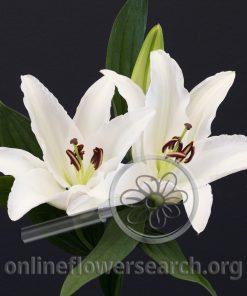 Lily Oriental Sambuca