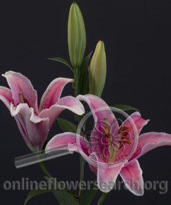 Lily Oriental Brilliant Star Delight