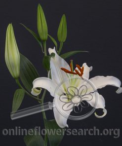 Lily Oriental Helvetia