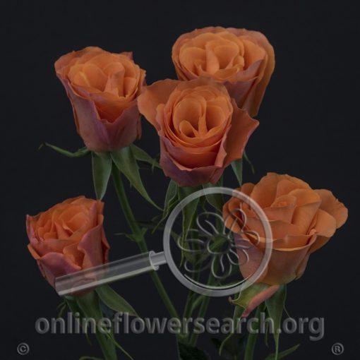 Spray Rose Orange Star