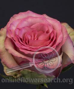 Rose Maggi
