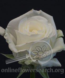 Rose Tundra