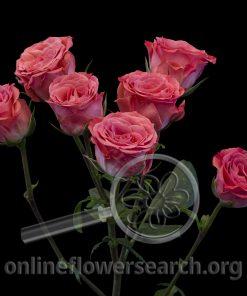 Spray Rose Brilliant Stars Dark Pink