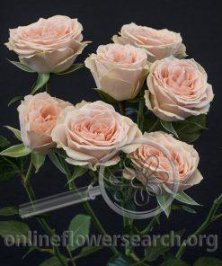Spray Rose Brilliant Stars Light Pink