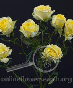 Spray Rose Brilliant Stars Light Yellow