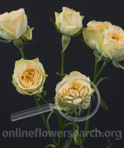 Spray Rose Brilliant Stars Apricot