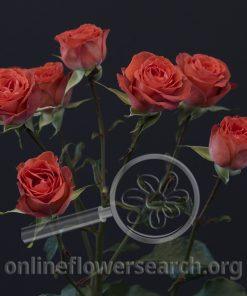 Spray Rose Brilliant Stars Coral