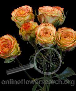 Spray Rose Brilliant Stars Cream Coral