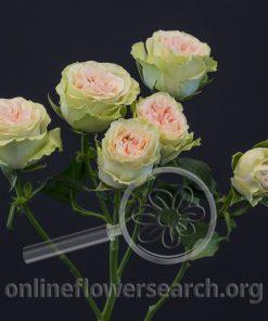 Spray Rose Brilliant Stars Green Pink