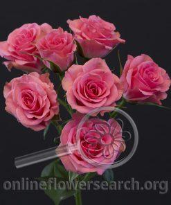 Spray Rose Brilliant Stars Pink