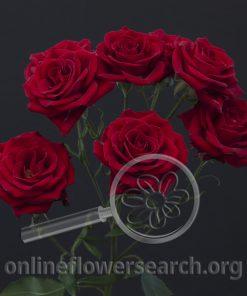 Spray Rose Brilliant Stars Red