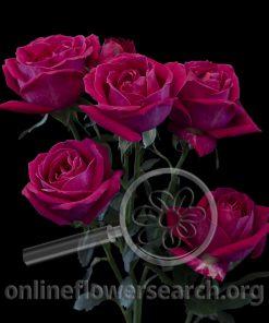 Spray Rose Brilliant Stars Shocking Pink