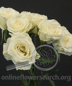Spray Rose Brilliant Stars White