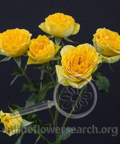 Spray Rose Brilliant Stars Yellow