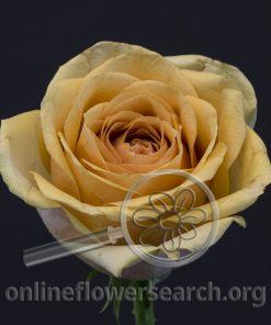 Rose Golden Mustard